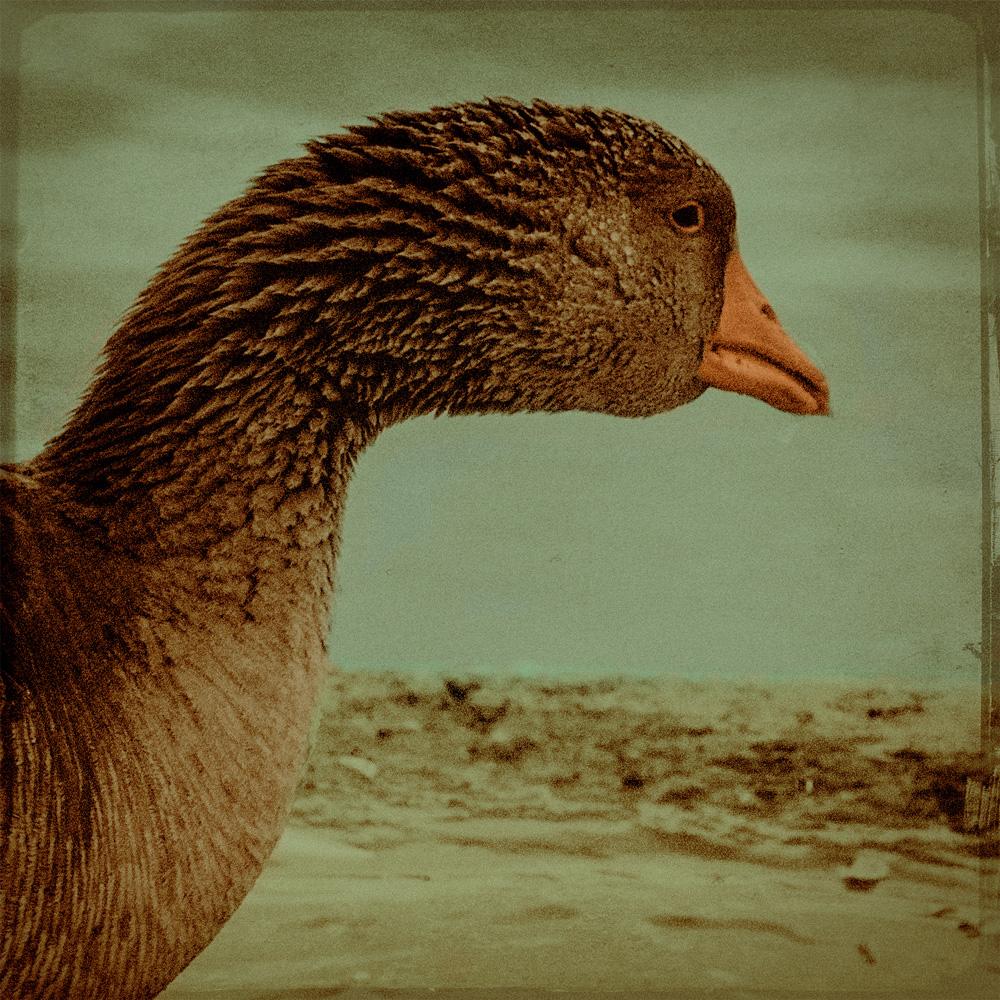 duck-copy.jpg