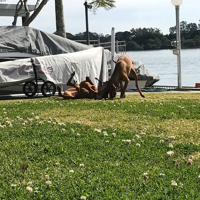 I've been so distracted this week as we have a new temporary four legged addition to our family. They are quite possibly the most photographed members of the household despite the fact they both despise posing for me. They live the good dogs life #vizsla #vizslalife #dogsofinstagram