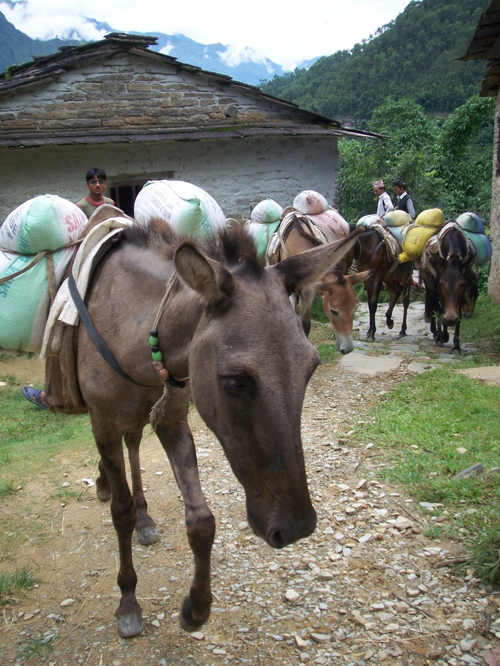 beasts-of-burden-Nepal