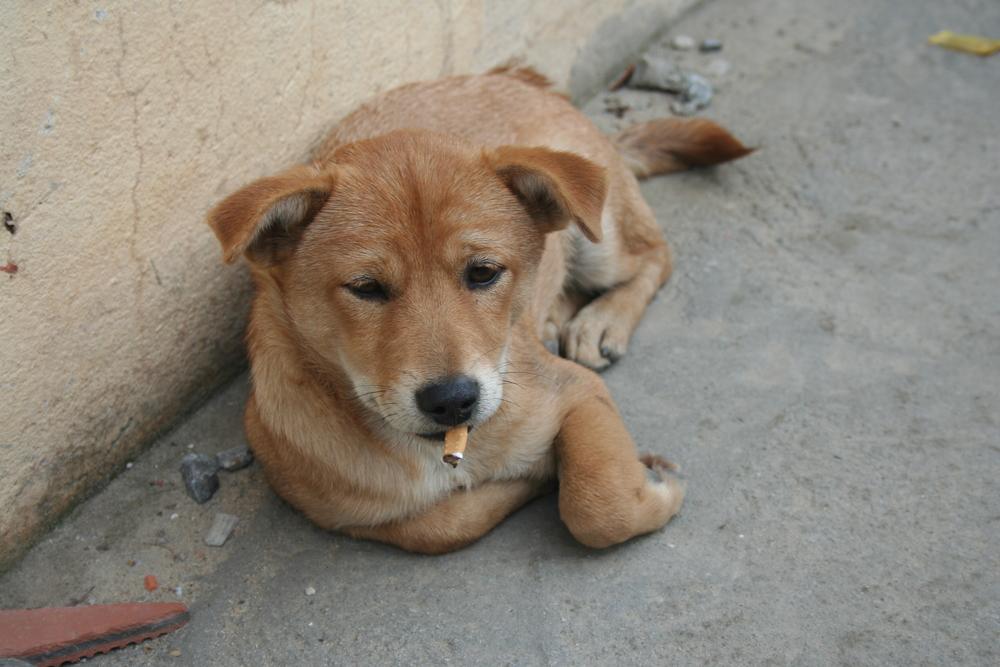 Cambodia-smoking-dog