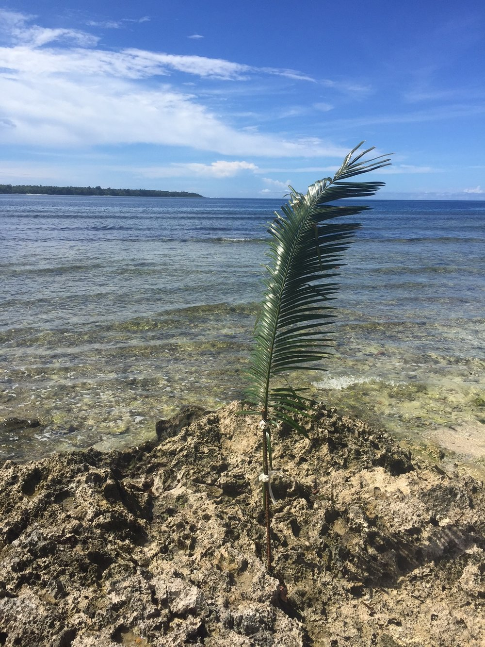 How's this for sustainability...The local chief of Pango in Vanuatu orders many of these cycads to be placed in and around the water front. It sends a very clear message to the local ni-Vans that no shell fish are allowed to be collected. Why? Well it's simple - if the cycads are out, it means shell fish stocks are running low. So the chief who is responsible for these waters, this land and the local people in this region, says no more fishing for shell fish. Until he decrees that shell fish in the region has been replenished (maybe in a few months time) these cycads will remain, indicating the ban is in place.