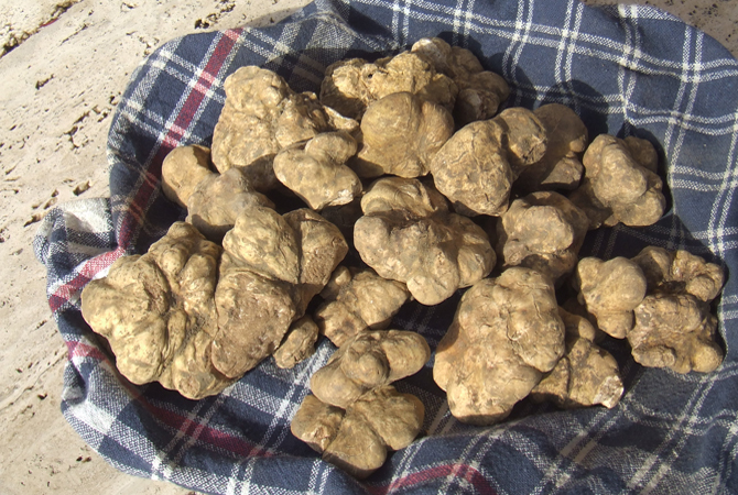 White truffle in organic farm. Truffle hunts with dogs.