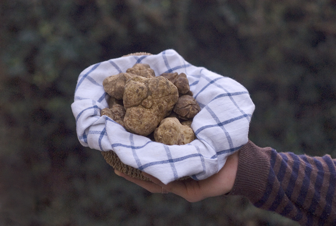 White truffle hunt in the organic woods of Fattoria Barbialla Nuova.
