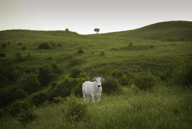 Barbialla-Nuova-white-cow