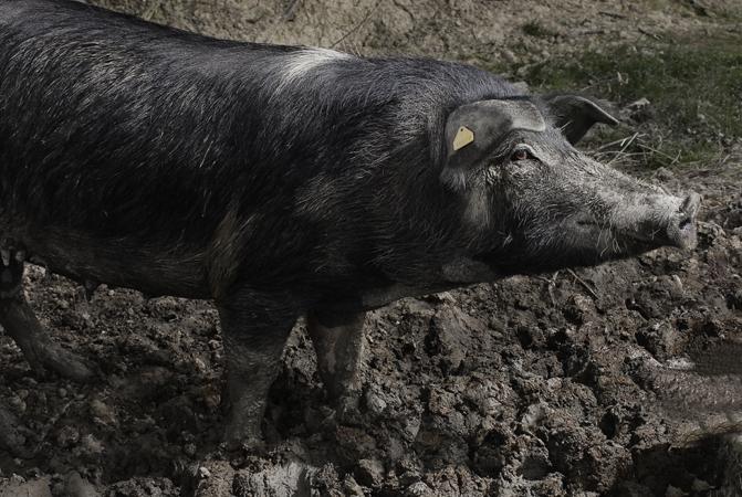 Barbialla-Nuova-pig