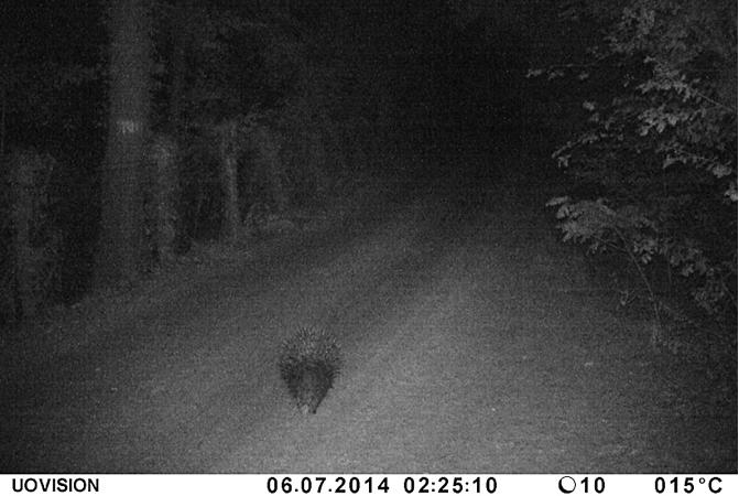 Barbialla-Nuova-porcupine
