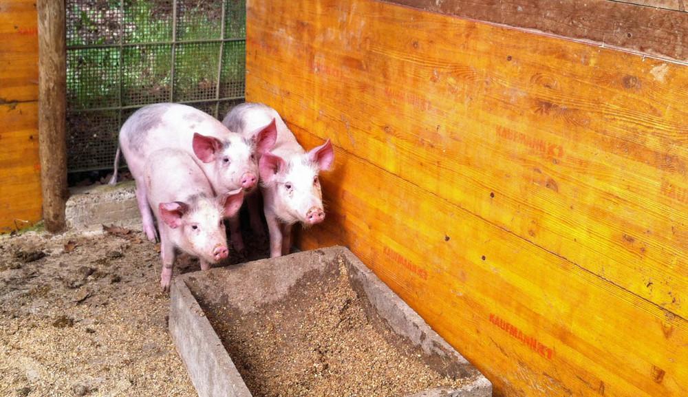 Three little pigs in the pig sty at the organic farm Fattoria Barbialla Nuova