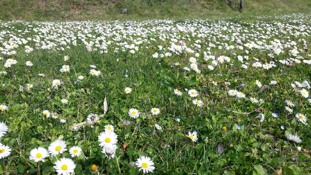 A lawn with daisies put of the house of Brentina in Fattoria Barbialla Nuova