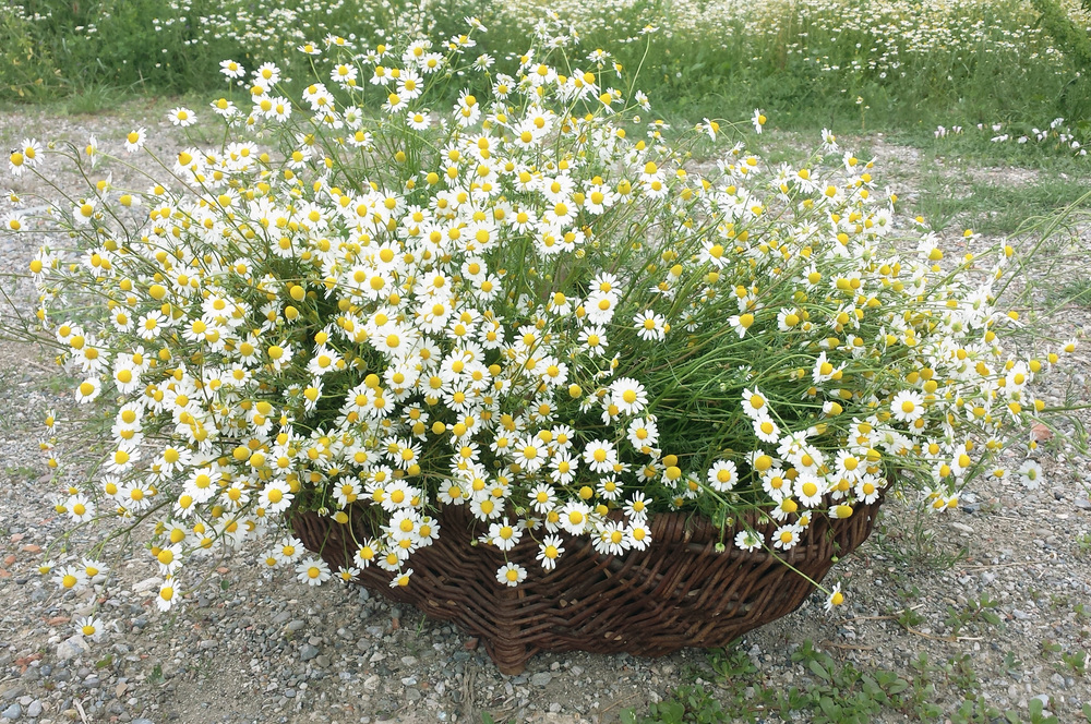 Basket of organic chamomile flowers