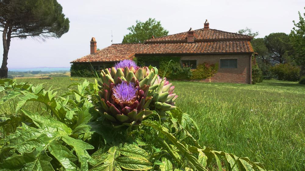 Barbialla-Nuova-Trosce-wild-artichoke