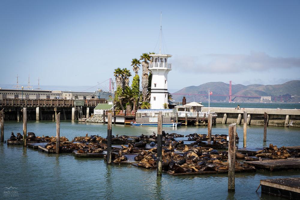 Znameniti pomol z morskimi mroži, San Francisco Bay.