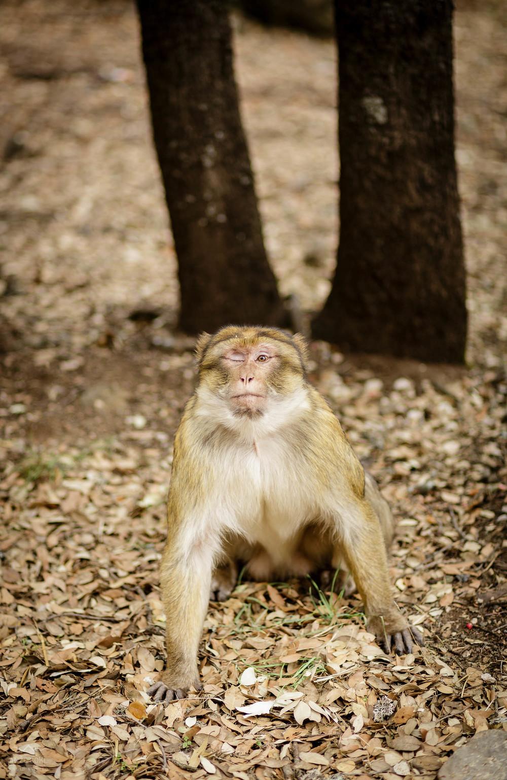 Majmunov povsod preveč!
