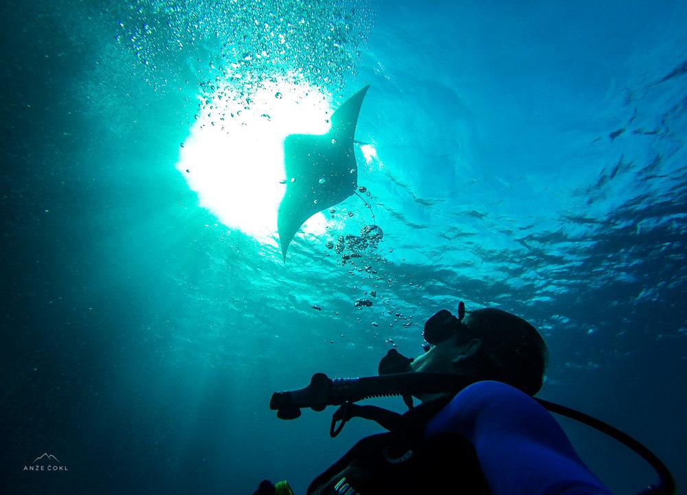 To je ena mlada riba, ki plava pod imenom Manta. Njene sestre na drugi strani objektiva dosegajo 4-7 m premera.