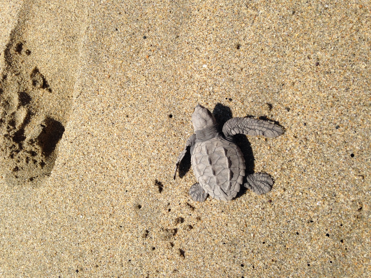 Baby Olive Ridley sea turtle taking its first walk