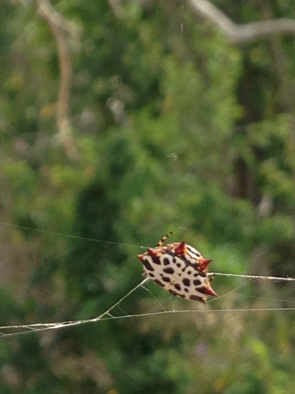 Spiny-backed orb weaver spider. They're everywhere in Los Cabos!