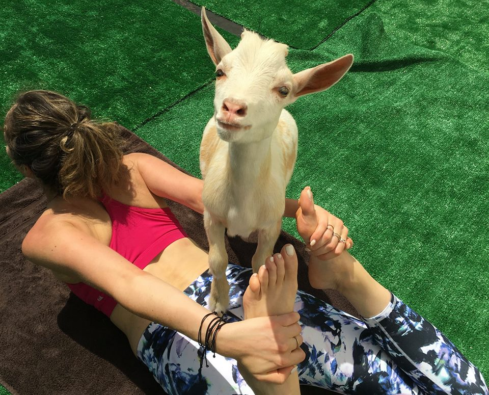 courtesy of    Hello Critter Goat Yoga