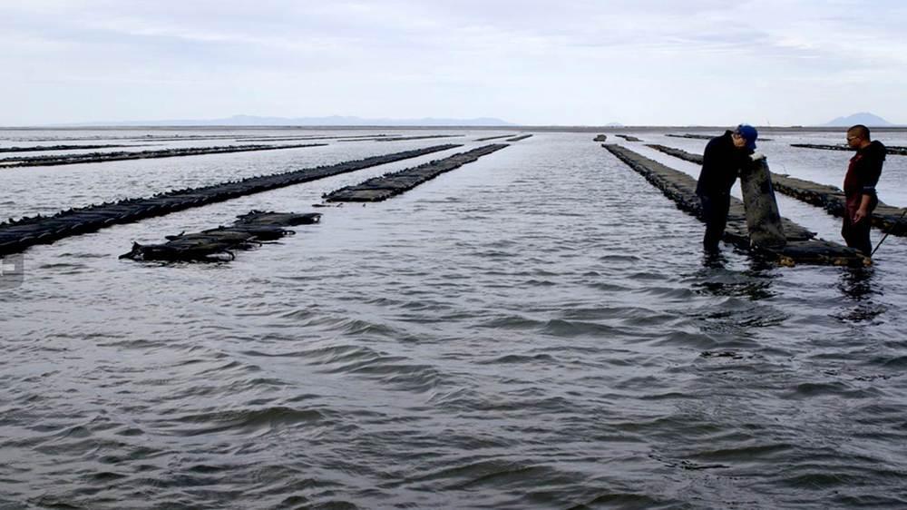 oyster-farm-laguna-san-ignacio-baja-california-sur-socio-christy-walton.jpg