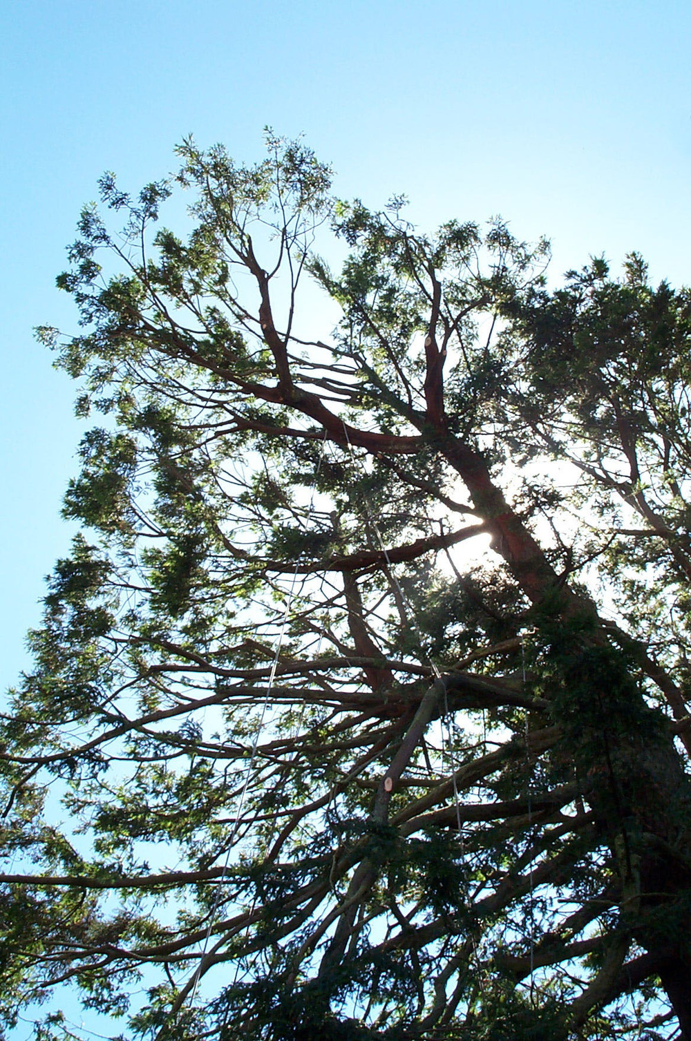 Bay Area Arborist Cooperative Tree Maintenance