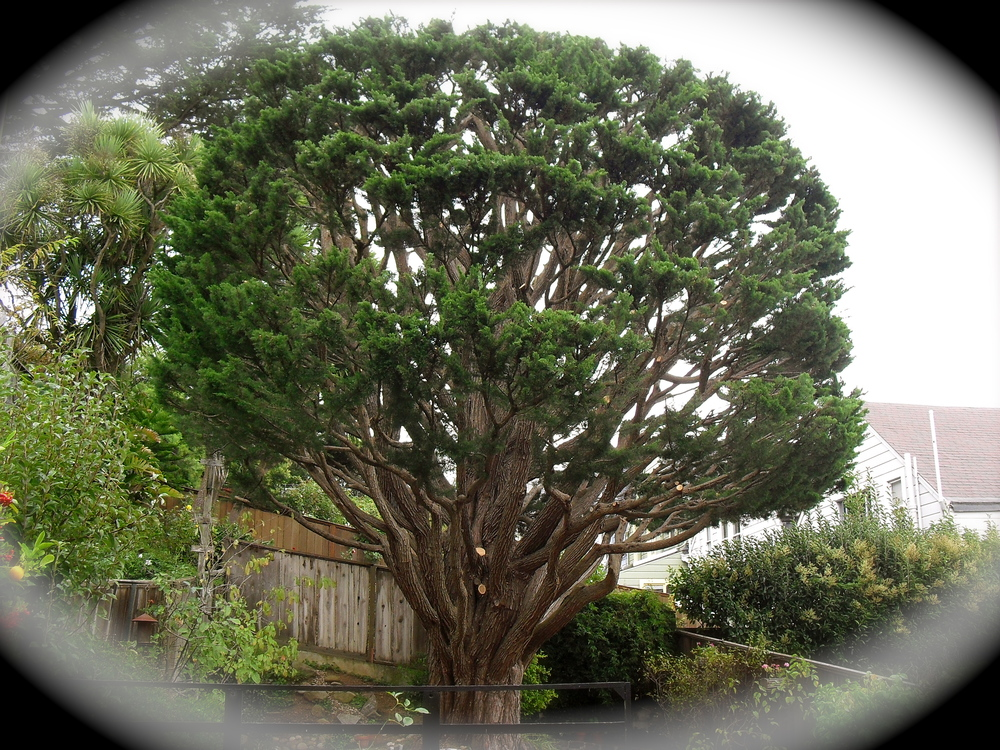 Bay Area Arborist Cooperative Tree Pruning