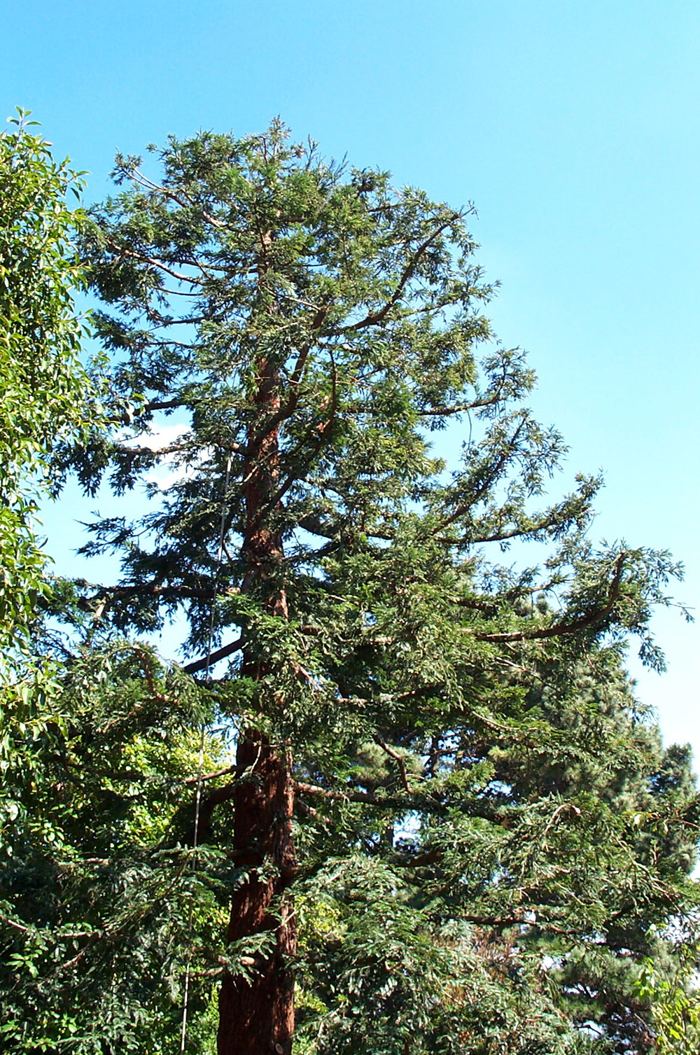 Bay Area Arborist Cooperative Redwood Tree Pruning