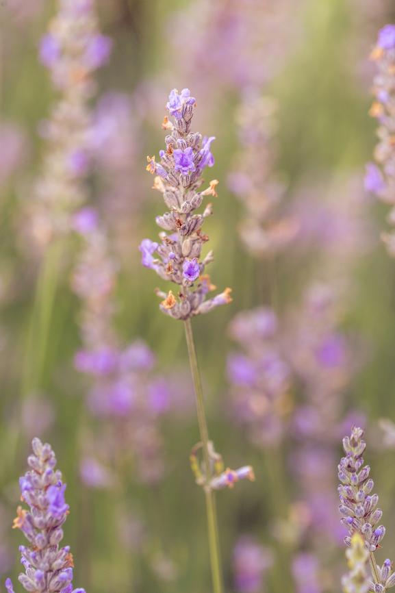 Lavender. Flower, herb, delicious.