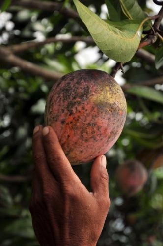 mango-pick.jpg
