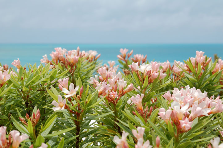 pale_pink_flowers