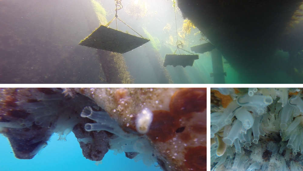 Ecologically optimized substrate prototypes, installed in Monterey Bay