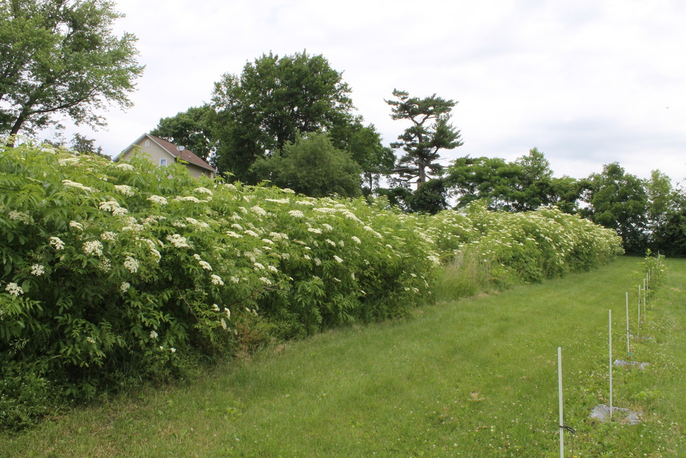 A look at the elderberry bushes blooming.
