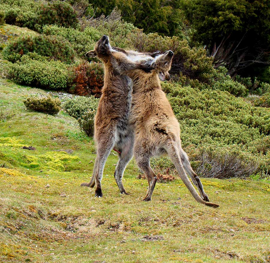 Wallaby-fighting-Tasmania.jpg
