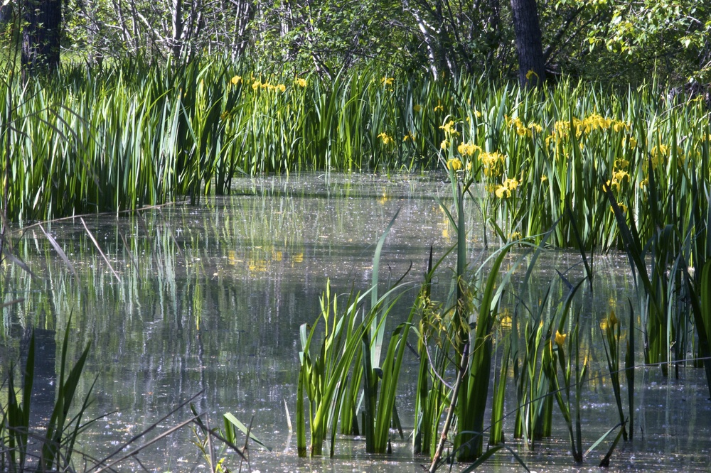 Yellow Water Iris, Eschbach park, Spring 2012, r1072.jpg