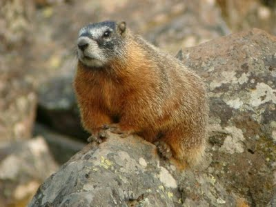 Yellow-bellied marmot at the Rocky Mountain Biological Station in Gothic, Colorado.