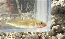 The unarmored threespine stickleback only exists in three locations in the Santa Clara River, and its habitat is rapidly shrinking. Wishtoyo is working to ensure The newhall Ranch mega development and wastewater discharges do not extripate this species.