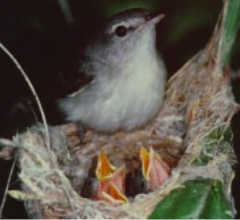 WISHTOYO IS FIGHTING TO PROTECT AND RESTORE THE ENDANGERED Least Bell's Vireo TO THE SANTA CLARA RIVER WATERSHED BY RESTORING RIVER RIVER FLOWS AND NATIVE RIPARIAN VEGETATION NEEDED FOR THE SPECIES THROUGH OUR SANTA CLARA RIVER IN-STREAM FLOW PUBLIC TRUST COMPLAINT BEFORE THE STATE WATER BOARD.