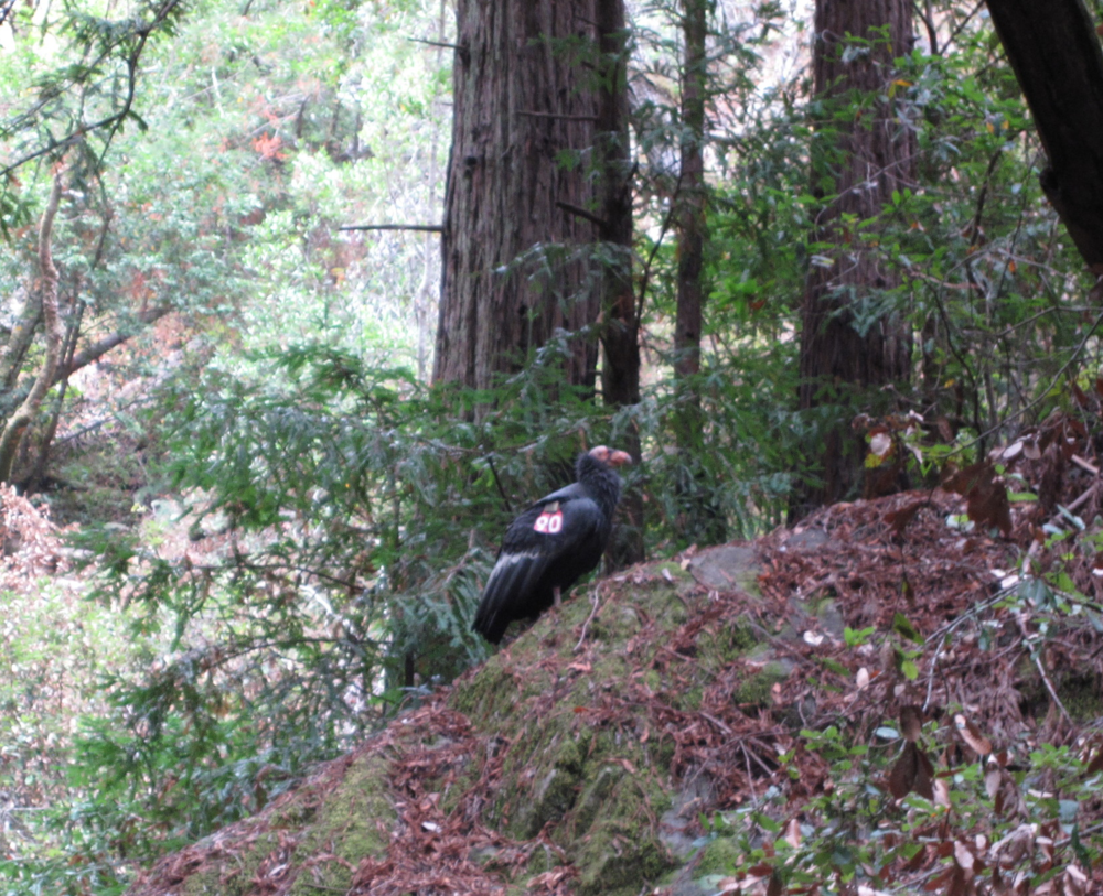 The California Condor, a sacred species to the Chumash Peoples and whose feathers are vital to Chumash ceremony, is making a Recovery after the campaign to ban lead bullets has halted lead poisoning from these scavengers.
