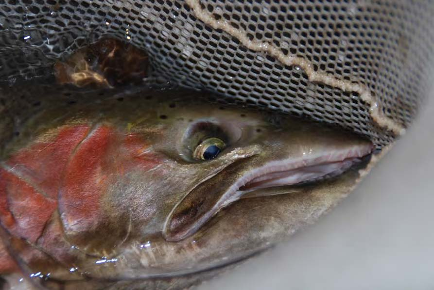 Steelhead netted by United after being blocked from migrating to its spawning grounds by United's Vern Freeman Dam.