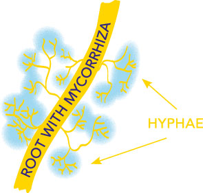 Mycorrhiza createa fine filament network (Hyphae) which extends the area for roots to absorb nutrients and water fromthe soil.