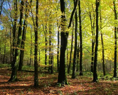 Irish-Woodland-400x321.png