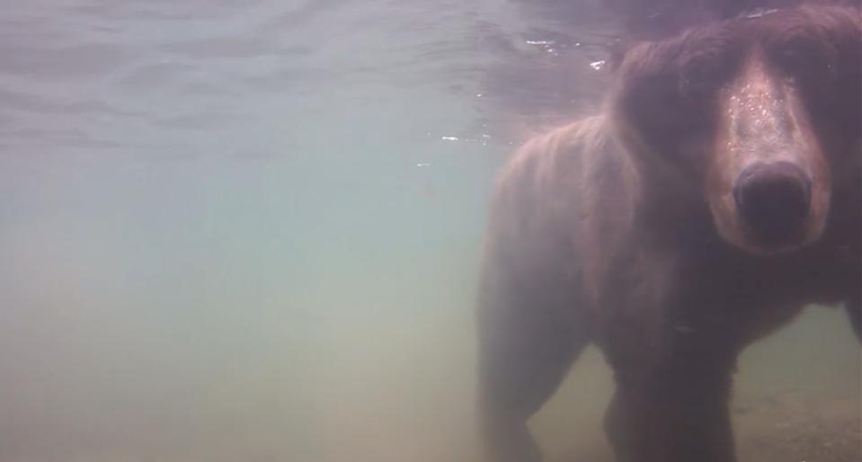 Snorkeling bear