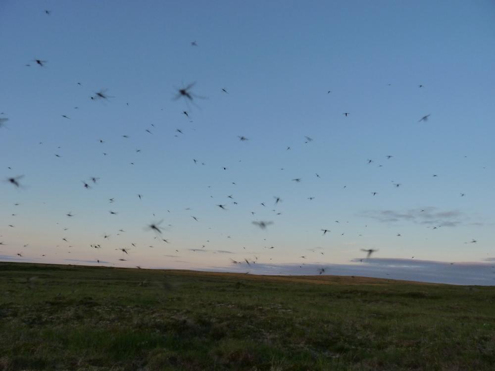 Tundra mosquitoes