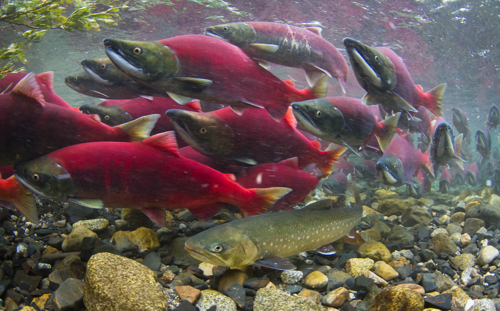 Sockeye salmon with Dolly Varden trout