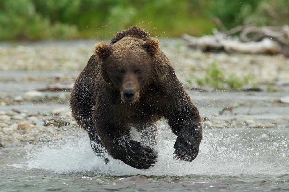 Bear charging 3.6MB copy.jpg