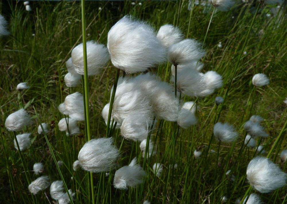 CU Cottongrass 1 FWS copy.jpg