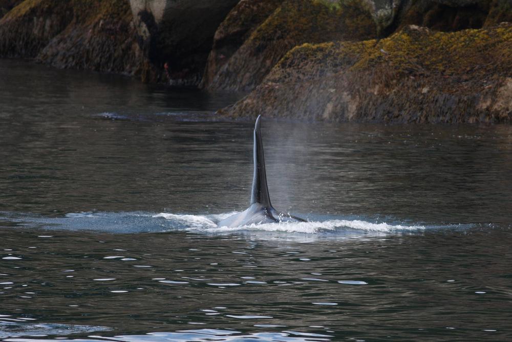 CU orca dorsal 1.4MB copy.jpg