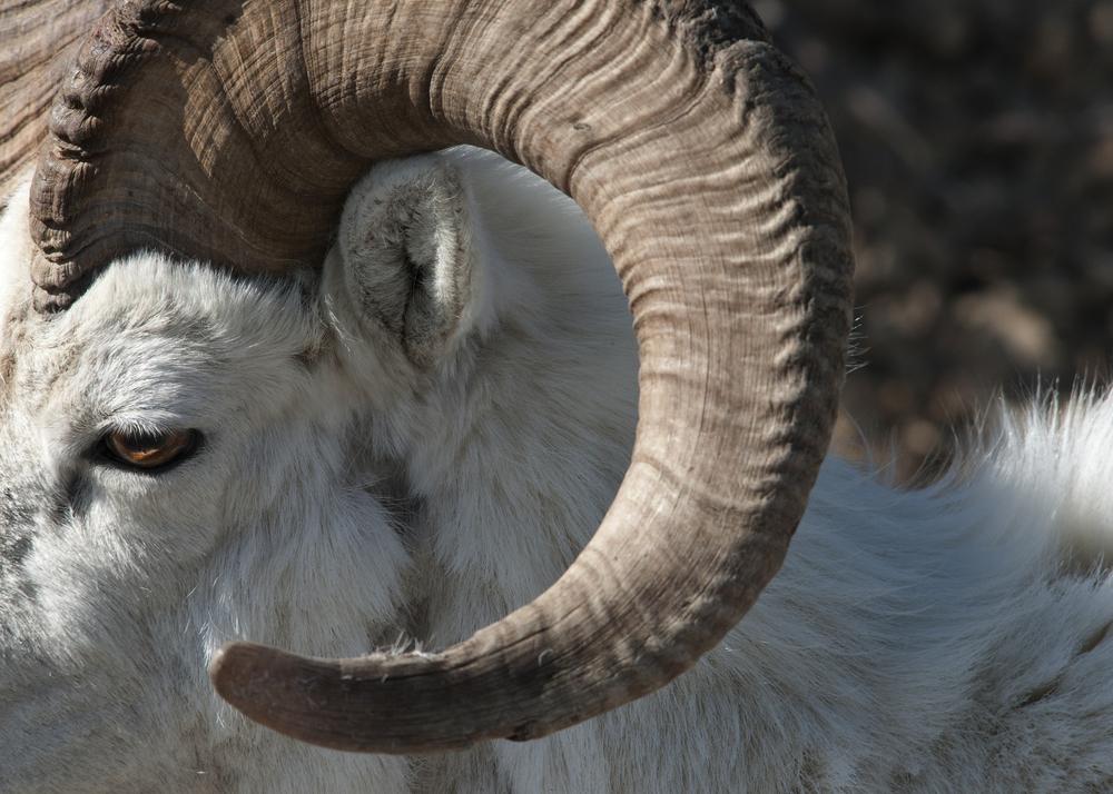 ECU Dall sheep horn copy.jpg