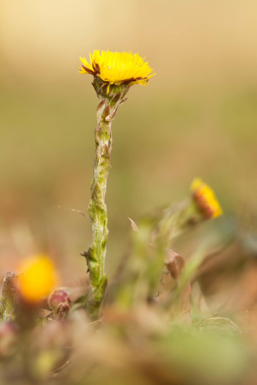 Klein hoefblad, bloem, voorjaar, plant.JPG