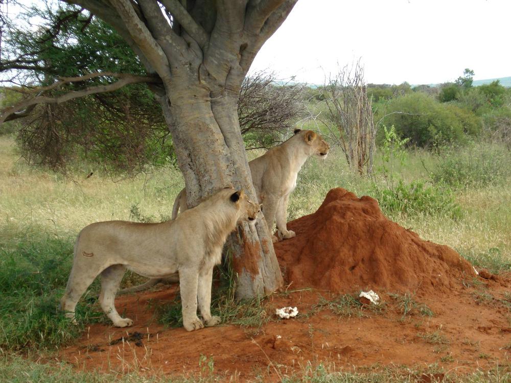 Sheperd Lions.jpg