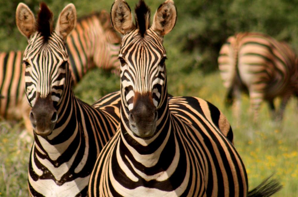 Zebra 2.jpg