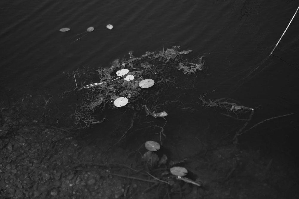 lotuspads.jpg