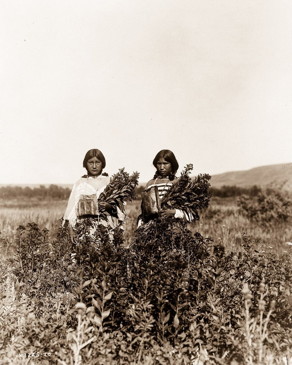 Piegan girls gather goldenrod , 1910.  ©EDWARD S. CURTIS/LIBRARY OF CONGRESS